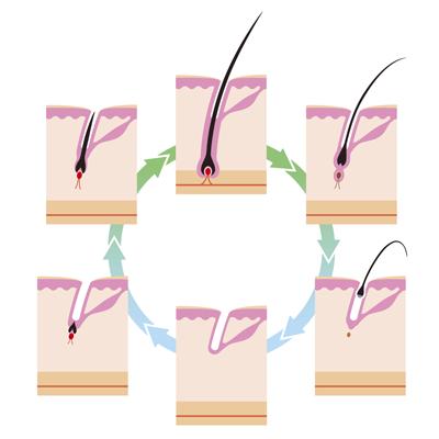 The hair cycle